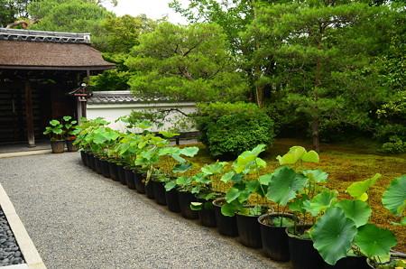 蓮鉢の並ぶ庭