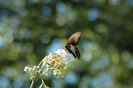 臭木に止まる黒揚羽(クロアゲハ)