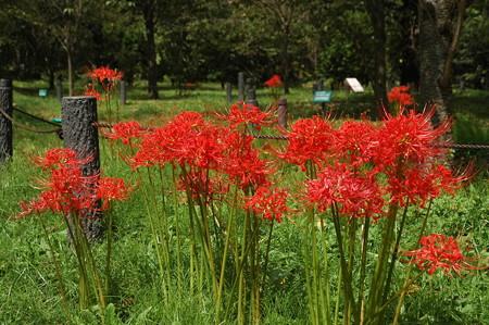 桜の園の彼岸花(ヒガンバナ)