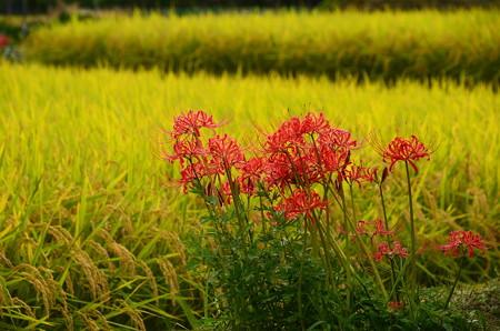 黄金の稲と彼岸花