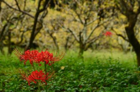 梅林の彼岸花