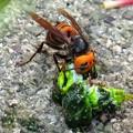 オオスズメバチの食事_2963