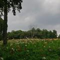 Photos: とpころざわのゆり園 木