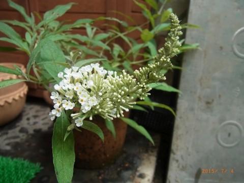 ブッドレア開花!