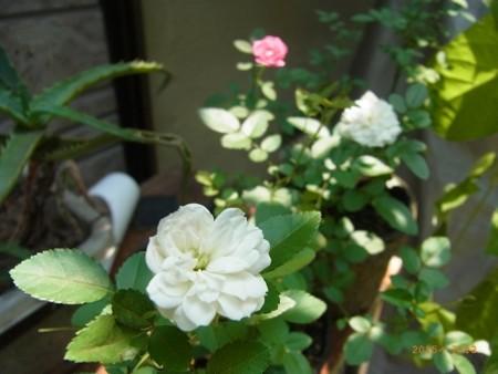 ミニバラの2番花