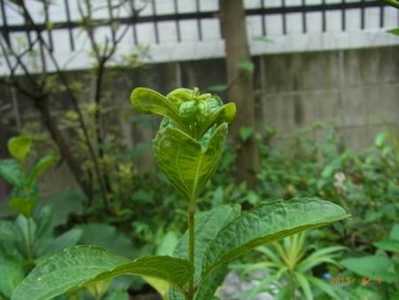 咲かないシモバシラ