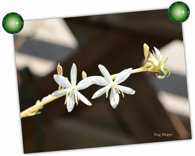 オリズルランの花