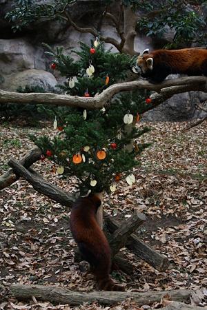 多摩動物公園111225-レッサーパンダ-07