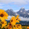 Grand Tetonと黄色い野花♪