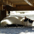 写真: ねこ寺の猫