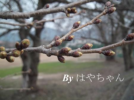 2012.4.11 桜