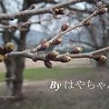 写真: 2012.4.11 桜
