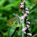 ネジバナとモンシロ蝶