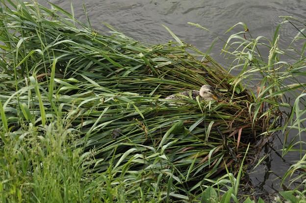 5月13日、倒れた草の上に卵を産んだ?マガモ(アイガモ)