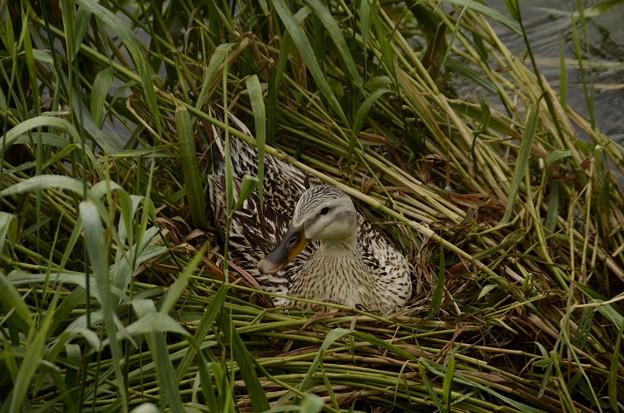 5月22日、残り1個の卵を温めるマガモ(アイガモ)の母