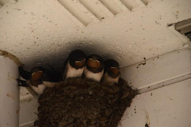 5月31日、巣立ち間近の子ツバメたち