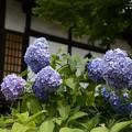 Photos: 多聞寺の紫陽花?