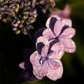 萼紫陽花 (がくあじさい)?