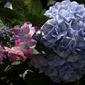6月20日、紫陽花の咲く散歩道?