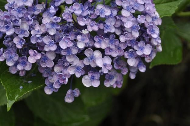 Photos: 7月2日、紫陽花(渦紫陽花?)