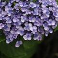 7月2日、紫陽花(渦紫陽花?)