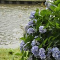 7月9日、黒目川沿いの紫陽花