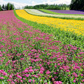 Photos: 花の絨毯