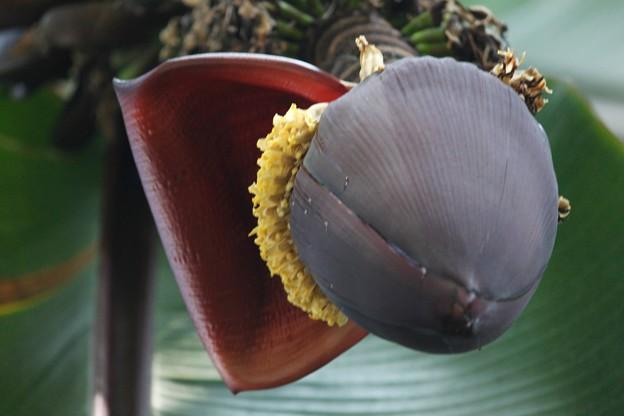 バナナ【甘蕉:芭蕉実】の花
