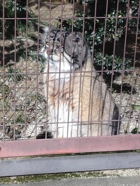 東山動植物園_14:マヌルネコ