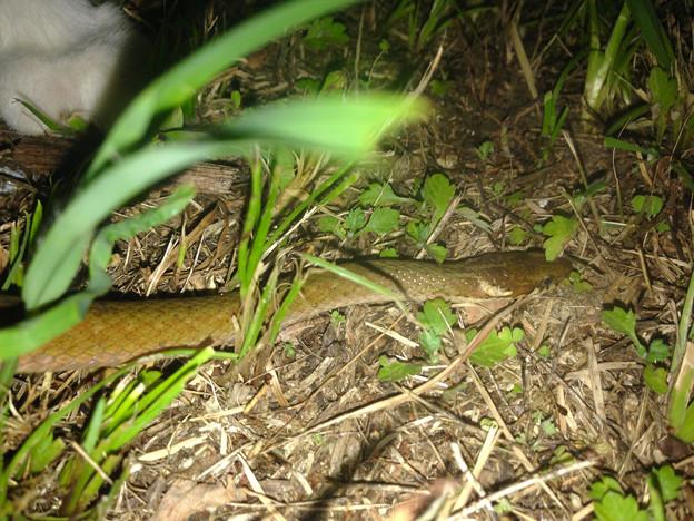落合公園で見かけたヘビ - 2
