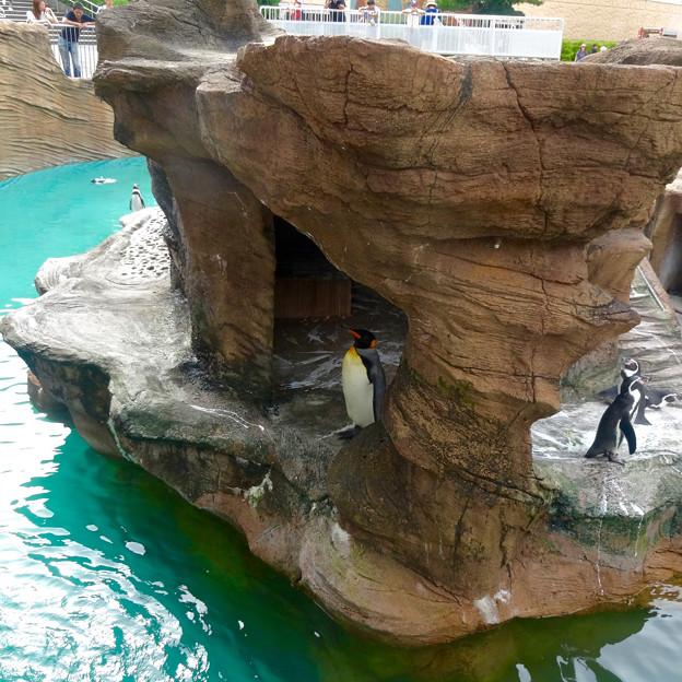 東山動植物園(2015年9月)No - 58:オウサマペンギン