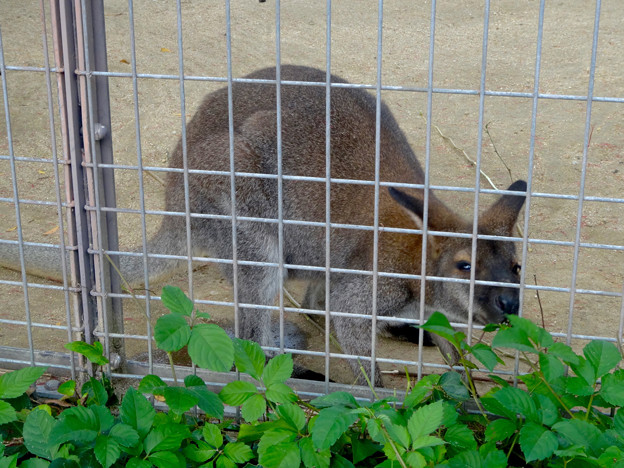 東山動植物園(2015年9月)No - 98:檻の外の草を食べる、ベネットアカクビワラビー