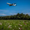 コスモス畑に飛行機