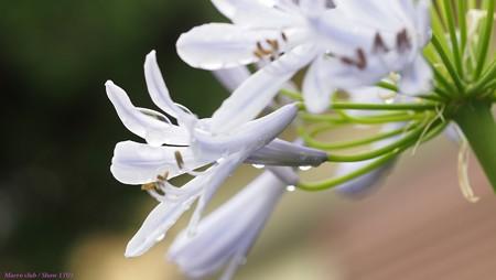 アガパンサスの花  013