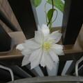 クレマチスが咲いていた