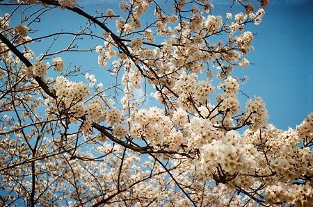 Cherry_blossom04162011smena02