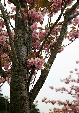 Yaezakura_OLYMPUS_PEN_FT_Kodak_PORTRA160NC_05092011-03