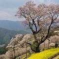 写真: ひょうたん桜 2012