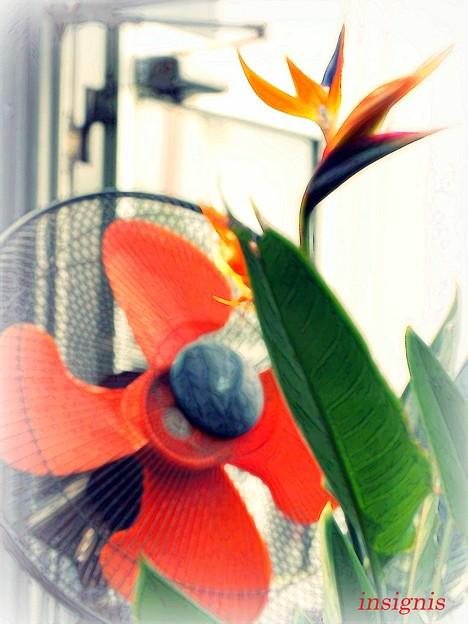 扇風機に見つめられる極楽鳥花......