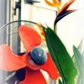 写真: 扇風機に見つめられる極楽鳥花......