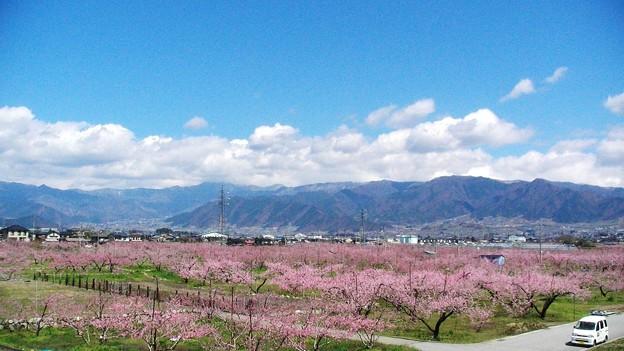 山梨市・笛吹市の桃の花 - 写真共有サイト「フォト蔵」