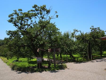 偕楽園の梅の木01