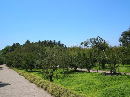 偕楽園の梅の木02