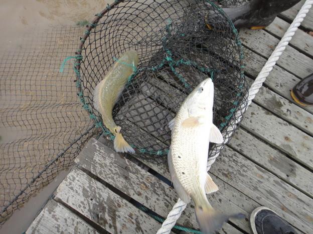 養殖 美国紅魚 (2)