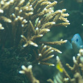 写真: サンゴの中からこんにちは