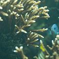 Photos: サンゴの中からこんにちは