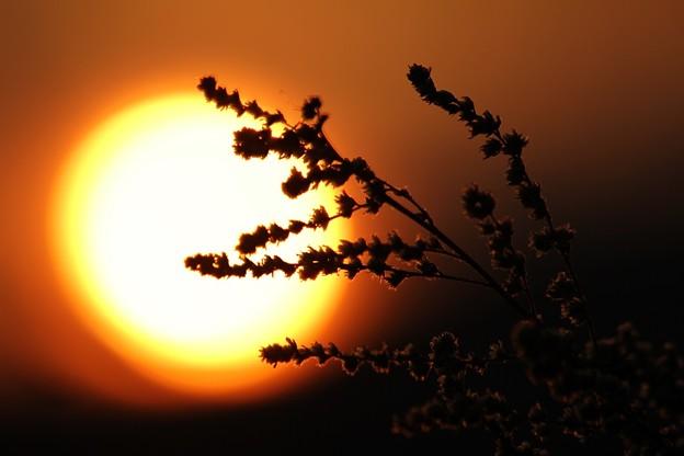 枯草 と 夕陽