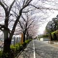 田園調布駅界隈(桜)_2015.03.30-02