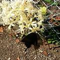 写真: 花(白花彼岸花)と蝶(モンキアゲハ)
