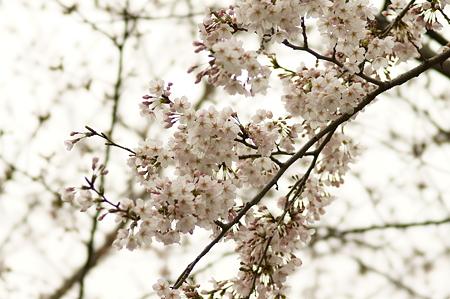 枝垂れ桜(谷中 本行寺)
